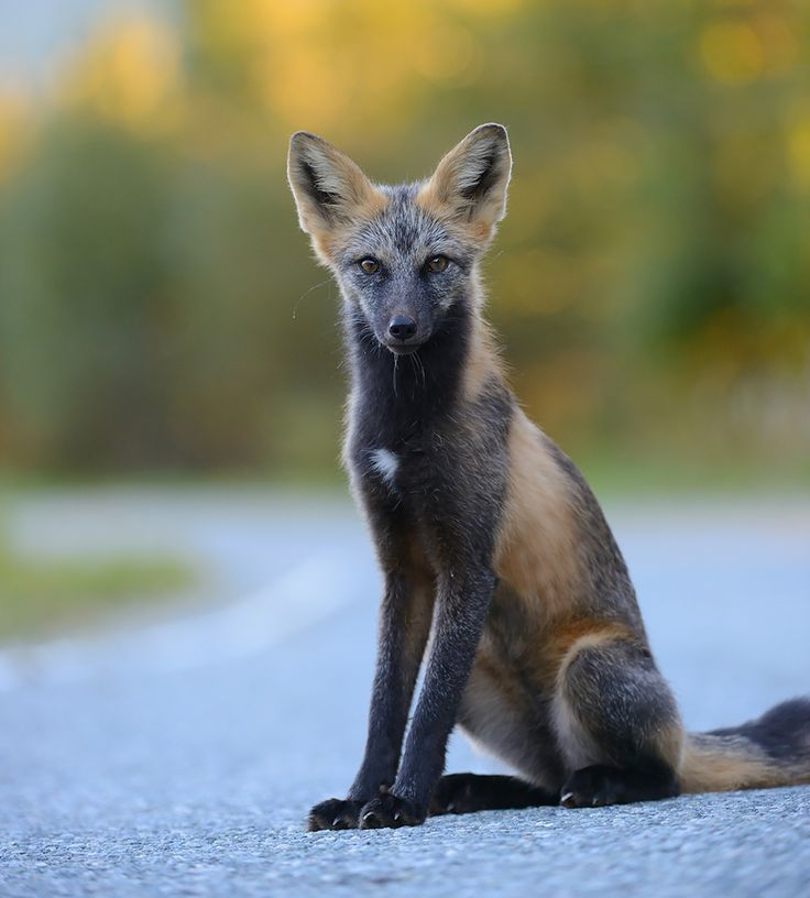 The cross fox is yet another color variant of the red fox. It is most common in North America. (Image credits: Ben Andrew)