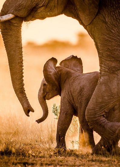 Elephant baby with mom.