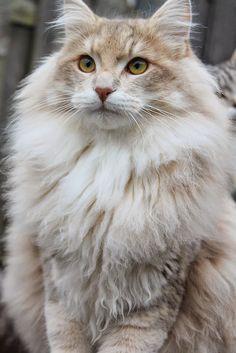 Luke... the Norwegian Forest Cat