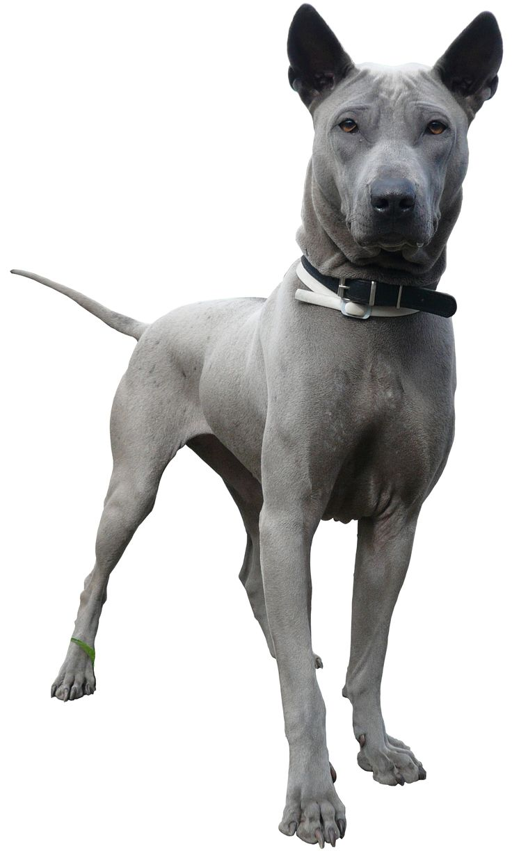 The Thai Ridgeback. An ancient breed of dog it was formerly unknown outside of Thailand, but is gaining notice in the Western world. The history of the breed is the subject of numerous hypotheses. Pre-historic rock art indicated that Thai dogs had accompanied a hunter since the new stone age of the country (over 2,000 years ago). An intelligent breed, when well bred and properly socialized Thai Ridgebacks make loyal, loving family pets, but are not for the novice dog handler.