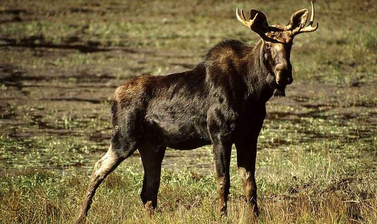 How Did the Moose Get its Name and What Does Moose Mean in Native American Language? http://superbeefy.com/how-did-the-moose-get-its-name-and-what-does-it-mean-in-native-american-language/