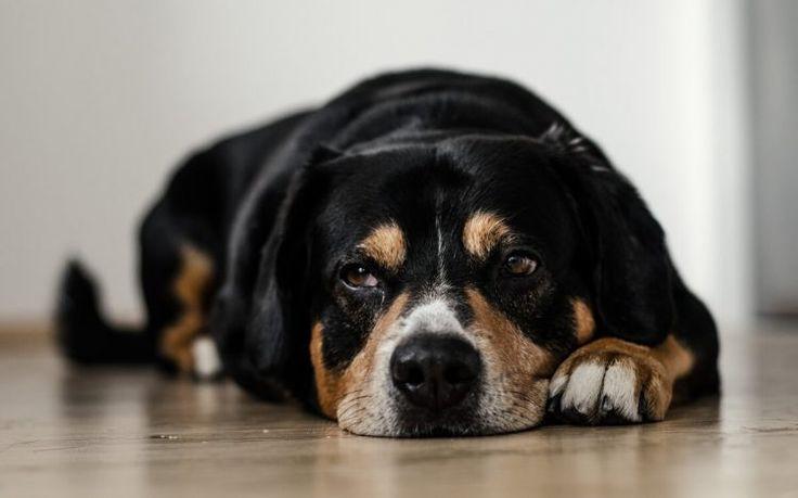 ¿Cuánto tiempo puedo dejar a mi perro solo? Se recomienda que cuatro horas es más o menos el tiempo máximo para que estén solos. Cada perro es diferente, dependiendo de la edad que tienen y a lo que lo tengamos acostumbrados. Por ejemplo, más de cuatro horas en general, sería …