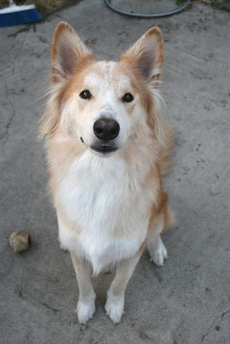 Husky Collie cross, look at that cute little nose