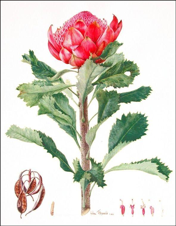 Waratah 750 | Helen Fitzgerald - Botanical & Wildlife artist | Helen Fitzgerald