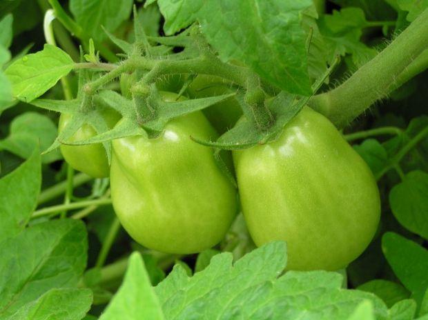 Tomato caterpillars can be controlled using organic methods | Organic Gardener Magazine Australia