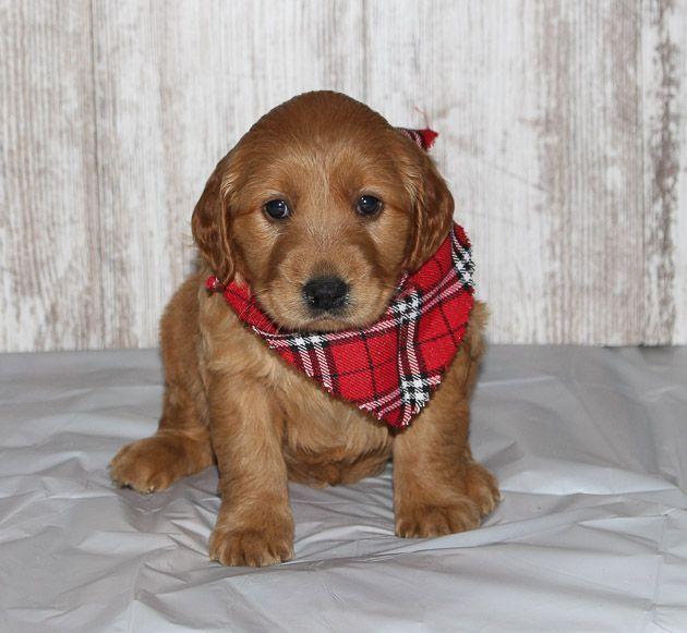 Heidi A New Golden Irish Female Apri Puppy For Sale In Shipshewana In Puppiesforsale Cuteanimals Puppy Puppies For Sale Puppies Dogs Golden Retriever