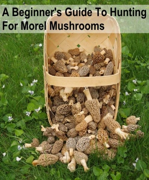 Beginners Guide To Hunting Morel Mushrooms