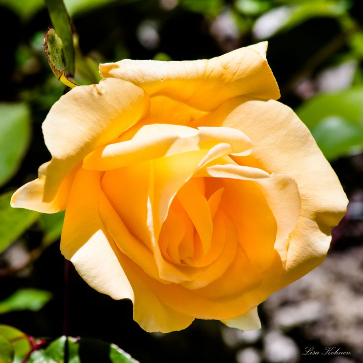 Rose by Lisa Kohnen on 500px
