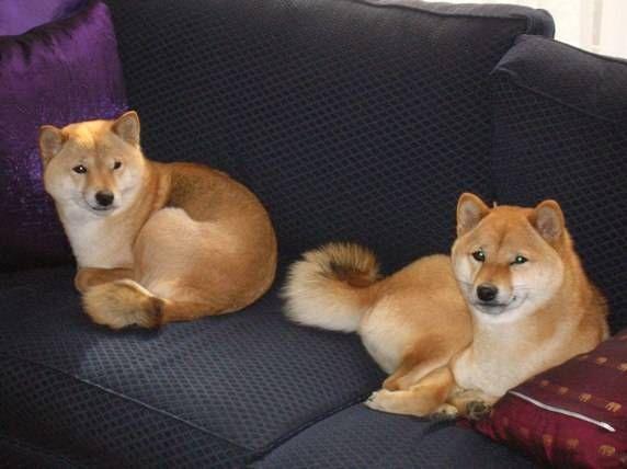 KAZUMI SHIBA INU  Victorian Shiba Inu Breeders // omg I need them. both.