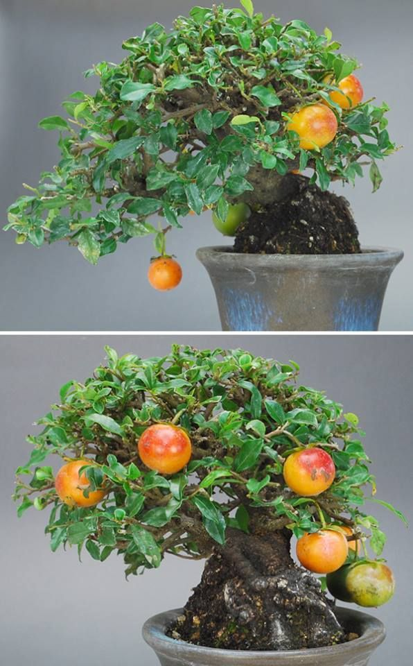 17 best images about bonsai fruit bearing trees on