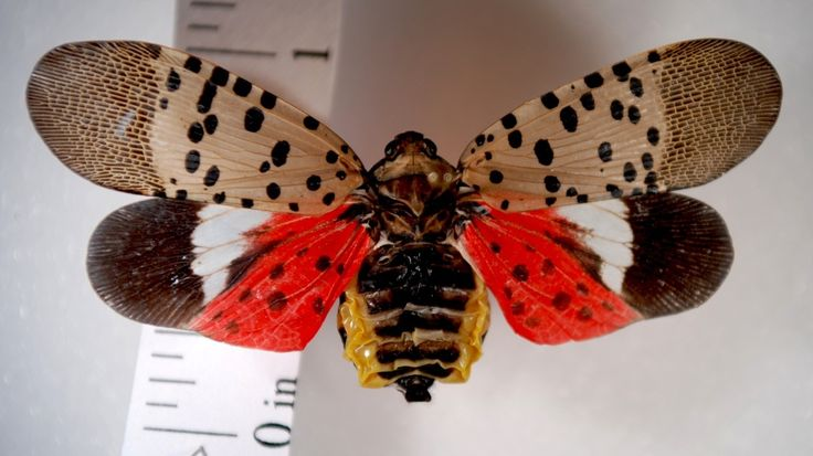 An invasive insect that threatens forests, the spotted lanternfly, has been found in a nearby Pennsylvania county. -Christina Freeman