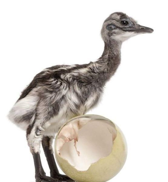 Rhea (bird) Bird Image - http://www.petandanimals.com/rhea-bird-bird-image-56/
