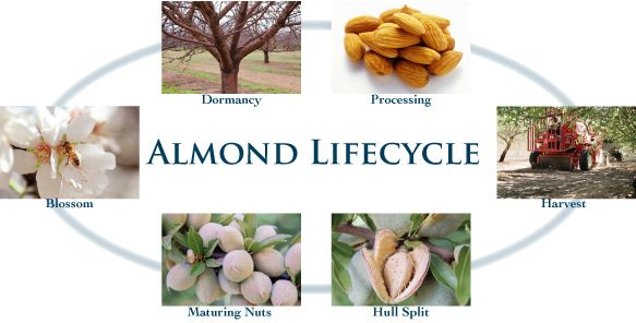 Almond Lifecycle - Almond Board Australia
