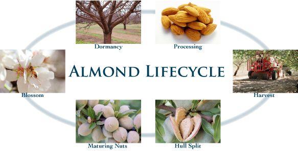 Almond Lifecycle - Almond Board Australia