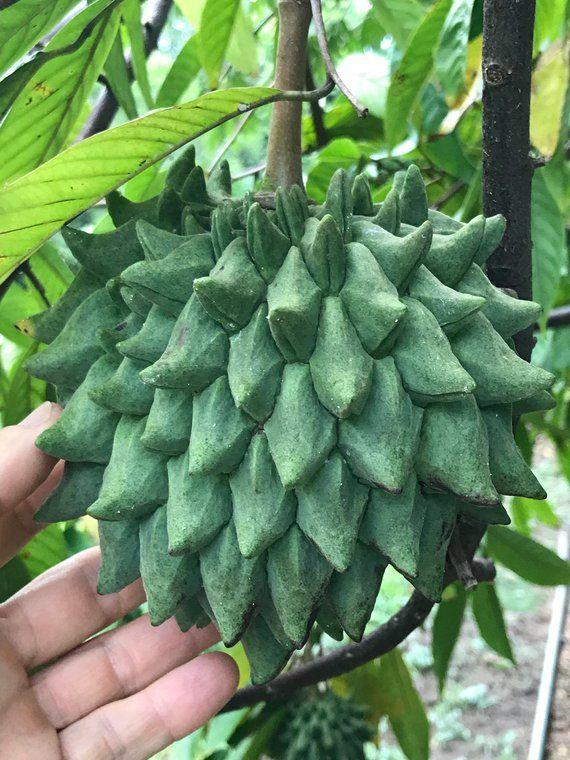 Rollinia deliciosa Biriba seedling