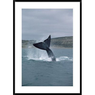 Global Gallery 'Southern Right Whale Tail Lob, Peninsula Valdez, Argentina' Framed Photographic Print Size: