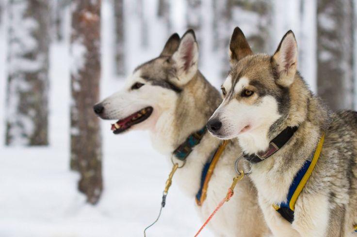 Profitez d'un safari avec les chiens huskies dans la nature laponne avec Arctic Circle Snowmobile Park