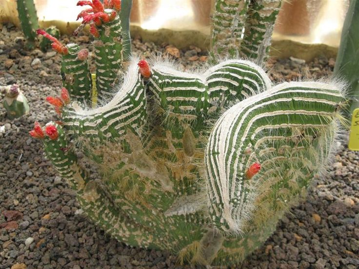 """""""Cleistocactus jujuyensis crestato mostruoso""""   From Chrome research: """"Cleistocactus is a genus of columnar cacti native to mountainous areas - to 3,000 m - of Peru, Uruguay, Bolivia and Argentina. The name comes from the Greek kleistos meaning closed because the flowers hardly open.Wikipedia."""""""