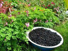 Богатый урожай смородины - совет
