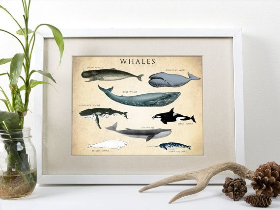 Hey, I found this really awesome Etsy listing at https://www.etsy.com/listing/200721919/whale-chart-art-print-whale-species