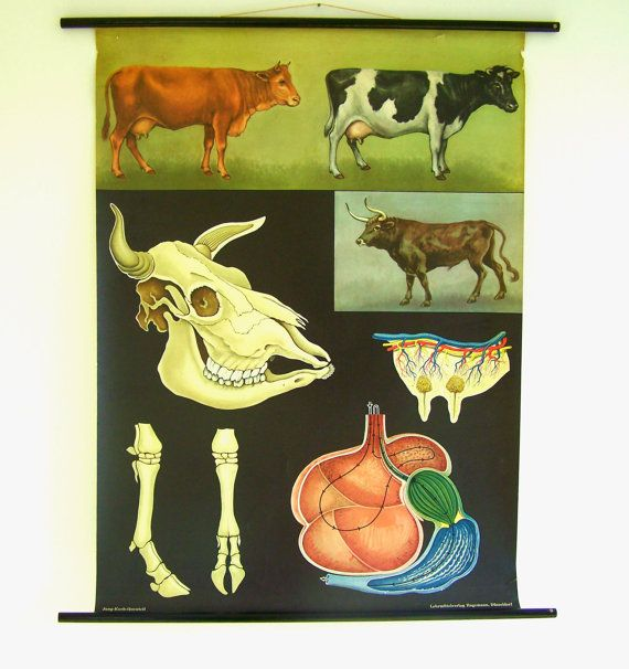 SALE 20% OFF - Vintage Cow Poster - Cow Chart - Antique Chart - Old Cow Print-  Jung Koch Quentell