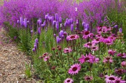 pink border > 1 'Kattenstaart': Lythrum virgatum 'Rose Queen'/ zon / hoogte 80 cm / bloei 6-8 / vaste plant, groeit graag op natte grond | 2 liatris spicata: zon, halfschaduw / hoogte 40-60 cm / bloei 7-8 / vaste plant, goede snijbloem | 3 Echinacea purpurea / zon / hoogte 80 cm / bloei 7-8 / vaste plant, vlindertrekker