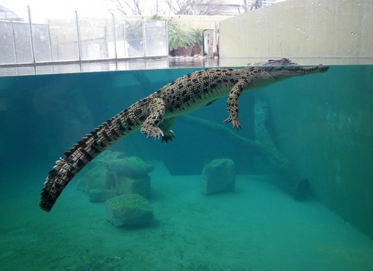 In Darwin, we visited Crocosaurus Cove, and saw this little guy — a much smaller version of his parents. #ntaustralia