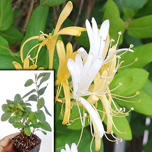 Hall's Japanese Honeysuckle Vine Plant, Lonicera Japonica Rooted Vines - Small plant  Healthy well-rooted plant  Fragrant white and yellow flowers  Attract hummingbirds and butterflies  Excellent ground cover and can climb fences.  Perennial