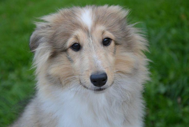 Dog dog puppy pup shetland sheepdog dog dog puppy