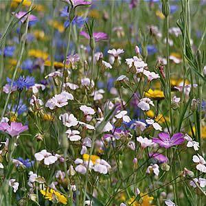 Waarom inheemse bloemenzaden inzaaien?