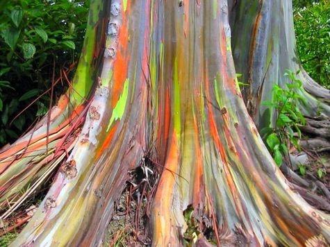 Eucalyptus deglupta, un arbre arc-en-ciel ! sur Futura-Sciences