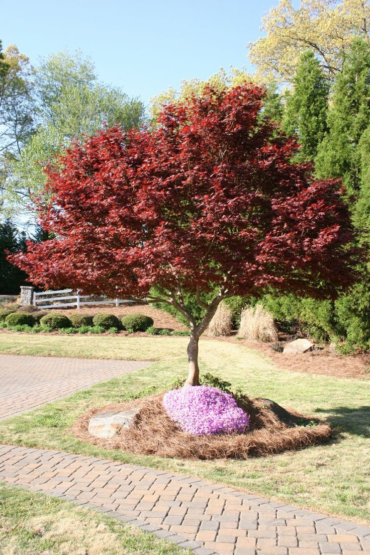 Bloodgood Japanese Maple Trees Maple Tree Landscape Japanese