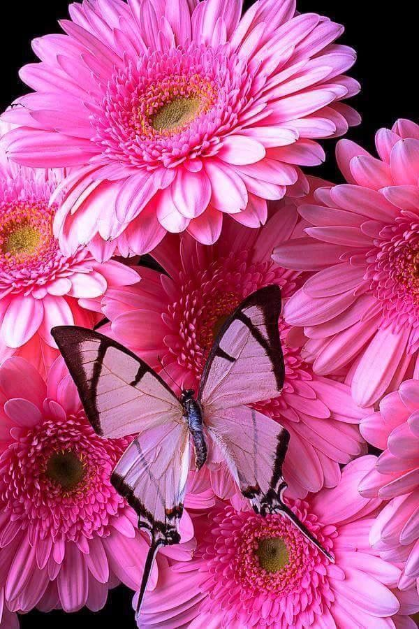 White Erfly On Pink Gerbera Daisies Could Be A Sweet Idea For Tattoo