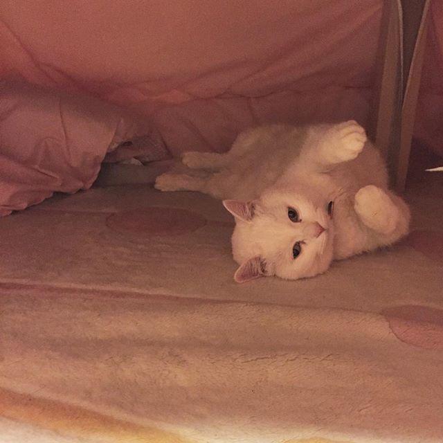 #白猫#猫#猫部#ねこ部#ネコ部#にゃんこ部にゃんこ#愛猫#まっしろねこ#でぶ猫#ぶさかわ#ふてにゃん#ふてねこ#猫好きな人と繋がりたい#ねこすきさんと繋がりたい#ねこすたぐらむ#おばあちゃん猫#きーちゃん#きーちゃんの毎日#こたつ猫