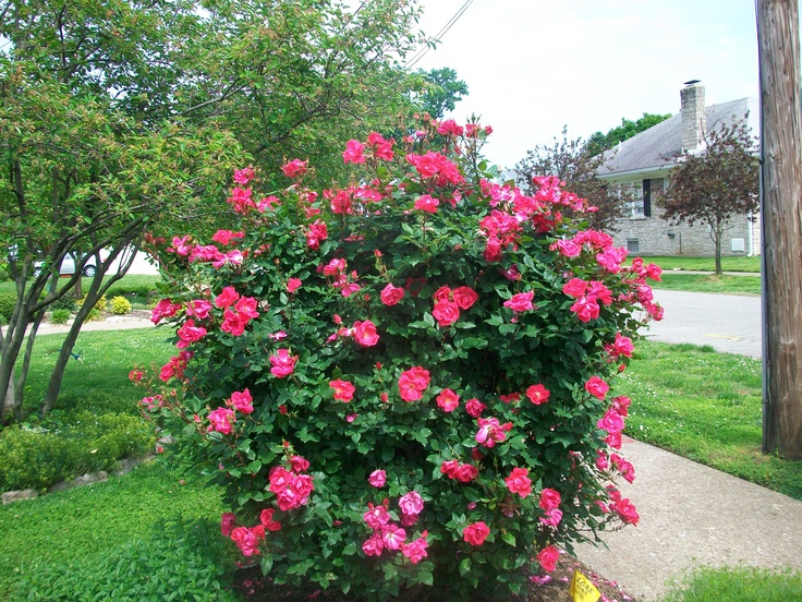 My knock out rose bush this spring gardens i like for Small bushes for landscaping