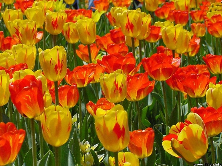 Red and Yellow Tulips: Tulip Gardens, Orange Tulip, Flowers Pictures, Orange Flowers, Desktop Wallpapers, Yellowish Orange, Flowers Image, Yellow Tulip, Flowers Wallpapers