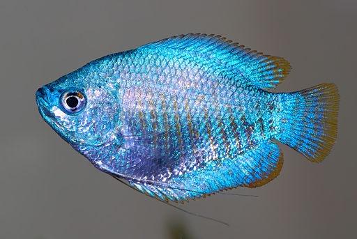 Powder blue dwarf gourami animals fresh water fish for Blue freshwater fish