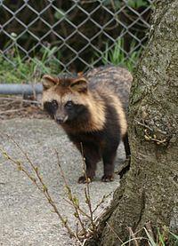 Tanuki or Japanese raccoon dog is a subspecies of the Asian raccoon dog.