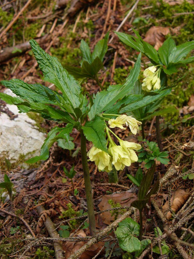 Kyčelnice devítilistá (Dentaria enneaphyllos) brukvovité  (Brassicaceae)