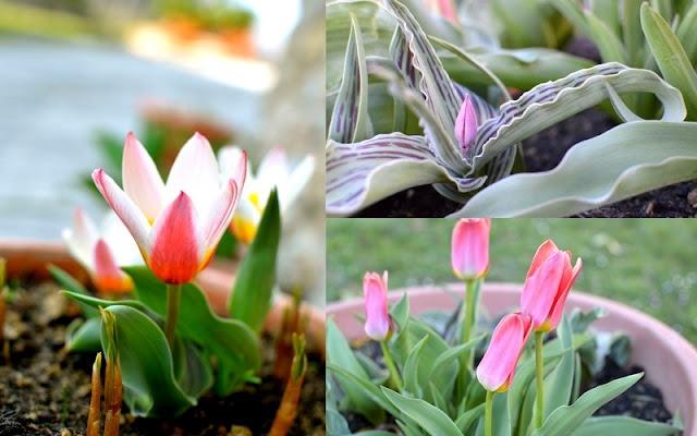 Spring in Bloom: Seedlings, Soil & Tulips