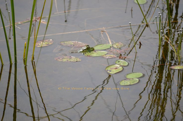 Bullfrog in Lilypads