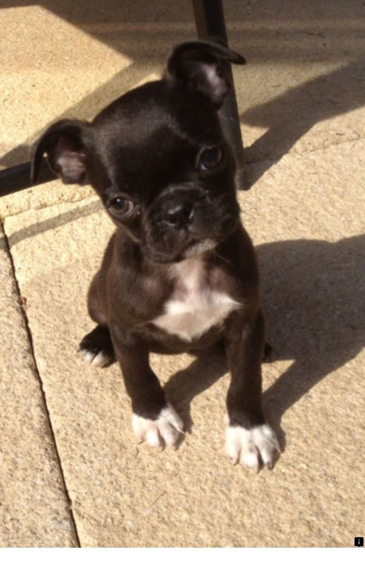 Want To Know More About Pugs For Adoption Near Me Simply Click