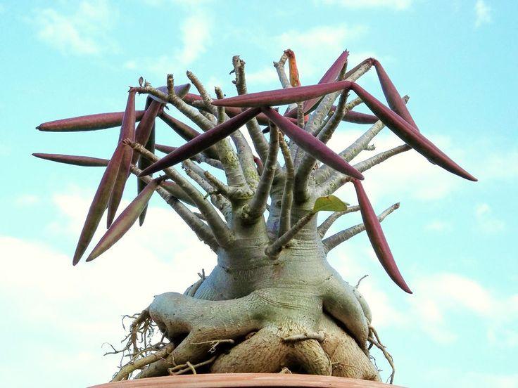 Adenium arabicum shada pachycaul desert rose bonsai cactus