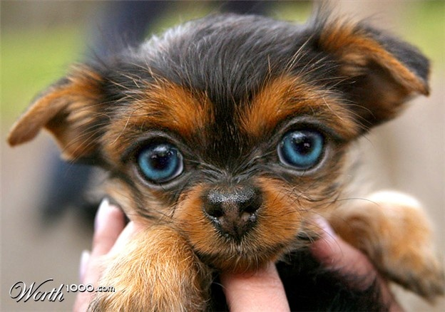 Such a cute yorkie puppy~i have never ever saw a yorkie ...