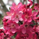 Flowering Crabapple Trees - Willis Orchard Company