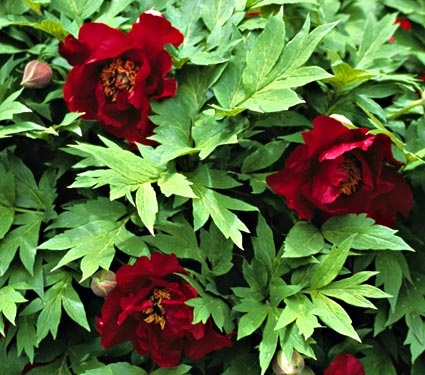 Tree Peony Hybrid Full Part Sun Blooms May June Deer Resistant Perennial Shrub Plant At Top Of Hill With Siberian Irises
