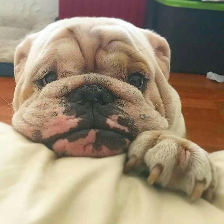 Some Please Tuck Me Into Bed Bulldog Puppies Bulldog