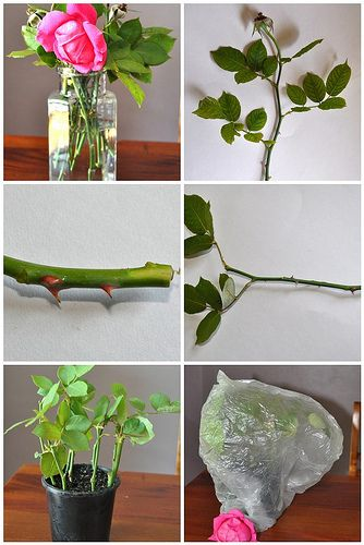 For rose lovers... How to propagate your own rose cuttings. - Don't forget to bury some bananas with your new rose bush.  -  this is how we got our rose bushes when I was a kid btw - cj
