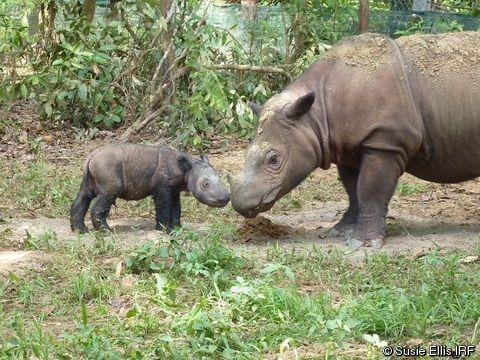 Dicerorhinus sumatrensis (Sumatran Rhinoceros)