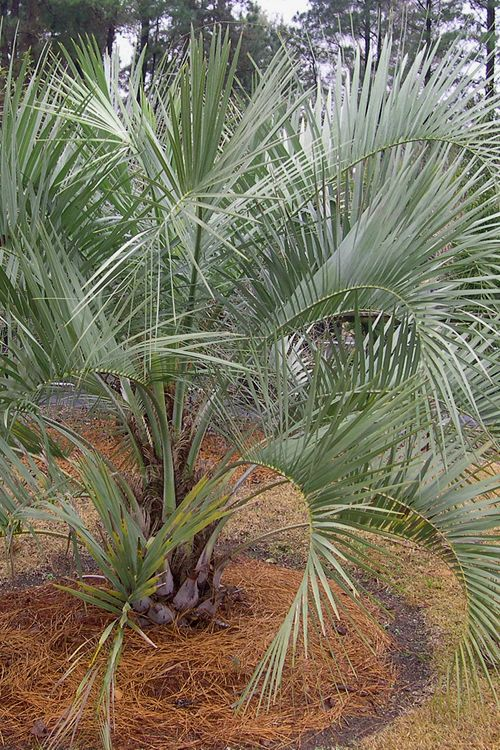 Buy Pindo Jelly Palm Tree For Sale Online From Wilson Bros Gardens
